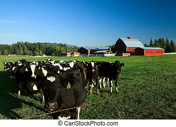 Dairy Cattle and Red Barn - Holstein dairy cattle in a green...