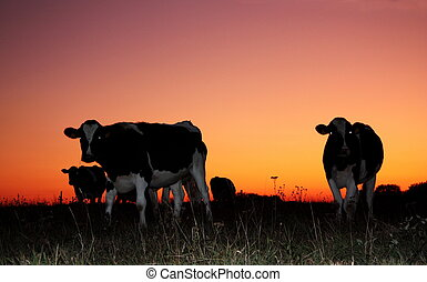 Holstein Friesian dairy cattle are silhouetted against a vivid winter sunset.