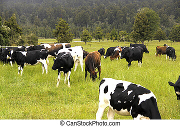 dairy cattle cows grazing - image of herd of dairy cattle...