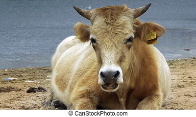 Dairy cow (Bos taurus) eating grass near lake - Nature -...