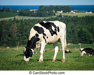 Dairy cow in grazing in pasture
