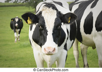 Dairy cow in pasture