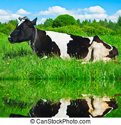 dairy cow is resting   - dairy cow is resting on the lake