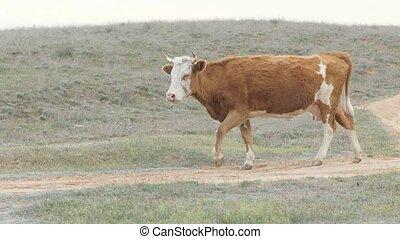 Dairy cow walking green field in livestock farming. Milk cow...