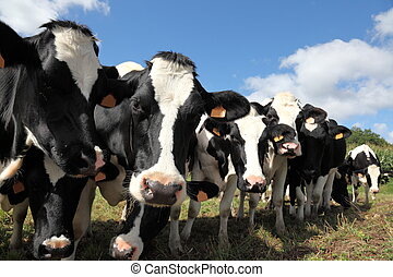 Dairy Cows All In A Row - A long receding row of black and...