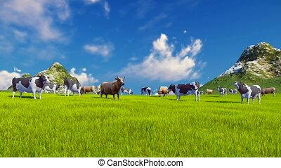 Dairy cows graze on alpine meadow