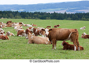 Dairy cows in pasture - Brown and white dairy cows in...