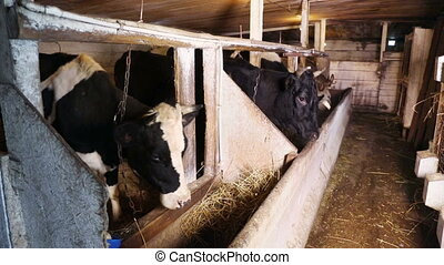 Dairy cows in the stall - Dairy cows eating hay standing in...