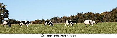 A panorama banner of a line of black and white Holstein Friesian cows walking across a pasture.