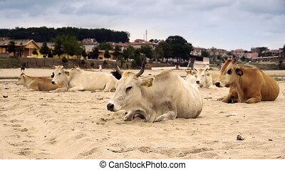 Dairy cows resting on sandy beach