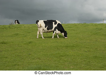 Holstein black and white cows in pasture, Waltshire, UK.