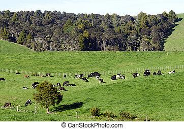 Dairy Farm - WELLSFORD, NZ - JULY 28:Dairy cows in a dairy ...