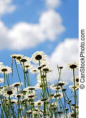 daises, με , γαλάζιος ουρανός