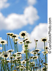 Daises with blue sky - Summer daises with blue sky