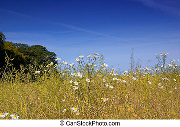 daisey field - daisies in summer