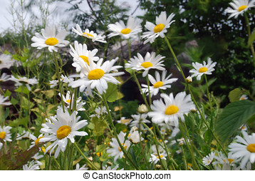 Daisey flowers blowing in wind - Group of daisy flowers...