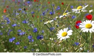 daisies, ветер