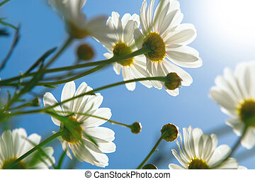 daisies against blue sky in the morning.