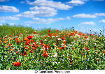 Daisies and poppies in the field
