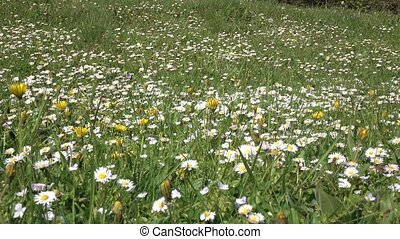 Daisies bloom on field on summer day, green grass. Details