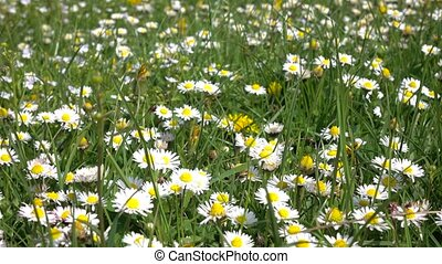 Daisies bloom on field on summer day in green grass, in...