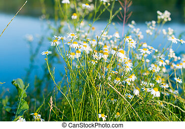 daisies blooming in the meadow