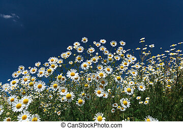 Daisies closeup on blue sky background.