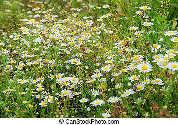 Daisies field blooming in the meadow