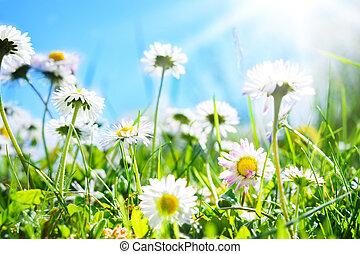 Daisies, flower meadow