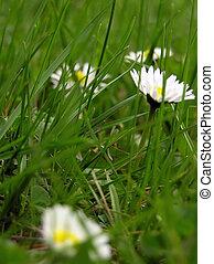 Daisies & grass