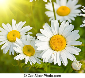 daisies in a field, macro