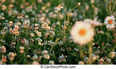 Daisies in a meadow of clover