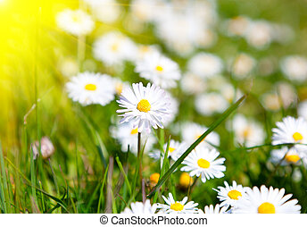 Daisies in a meadow with sunlight, close-up