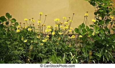 Daisies in Garden - yellow daisies in the garden