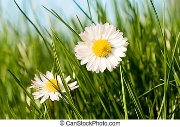 daisies in the grass - close up of two daisies in a sunny...