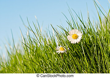 close up of two daisies in a sunny day