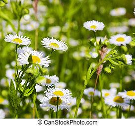 daisies, ind, den, felt