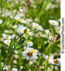 daisies, ind, en, felt, makro