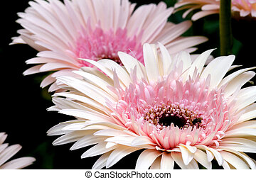 Daisies - Macro image of daisies.