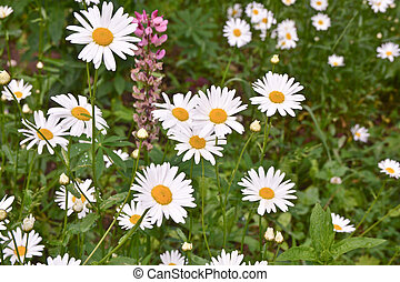 Daisies on a background lawn.
