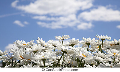 daisies on a background of the sky with clouds