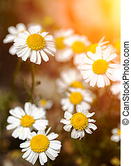 Daisies on a background