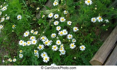 Daisies on a field Beautiful wild flowers
