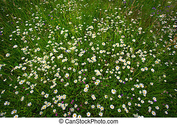 daisies on a field