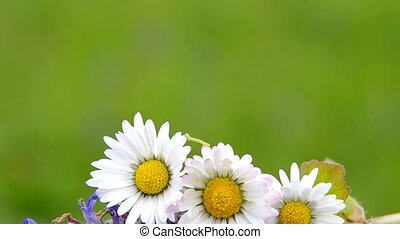 Daisies on a green background