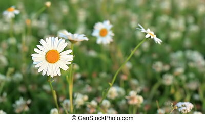Daisies on a meadow of clover - Camomiles tremble from an...