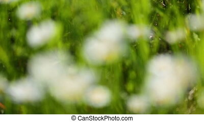 daisies on a meadow - rack focus