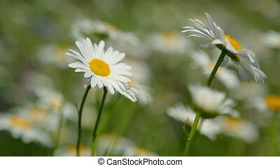 daisies on a meadow - shot with shallowDOF