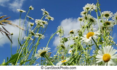 daisies on a meadow - slider dolly shot