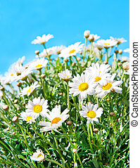 daisies on blue sky background